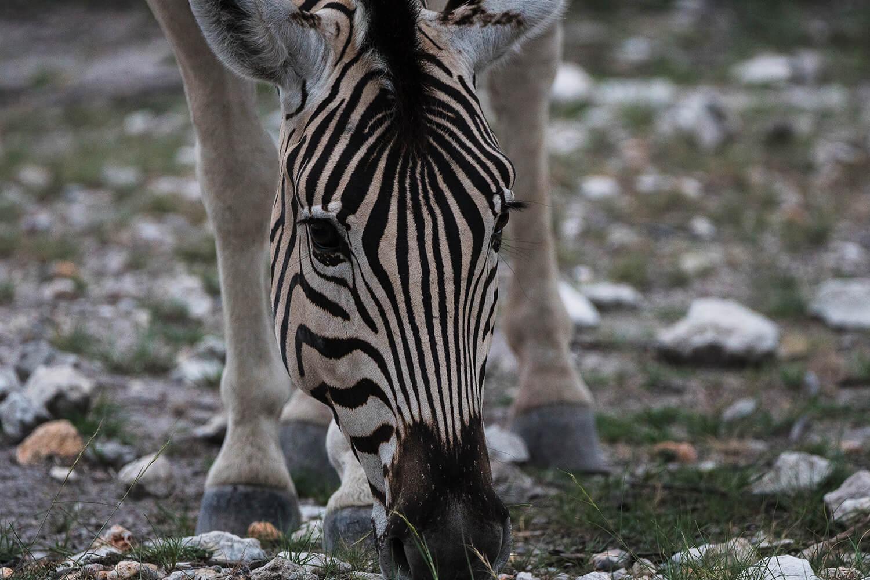 Zebra grasend