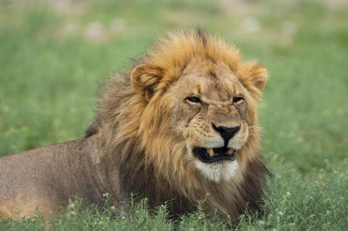 Lion Etoscha